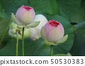 미세스로카무 세라 고원의 꽃 연꽃 50530383