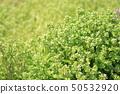 วัชพืช 50532920