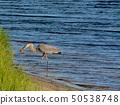 Great Blue Heron killing and eating a Boa snake.  50538748
