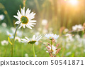White daisies on blue sky background 50541871