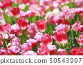 Multicolored tulips 50543997