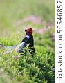 Pheasantid pheasanthynidae Pheasantidae 50546857