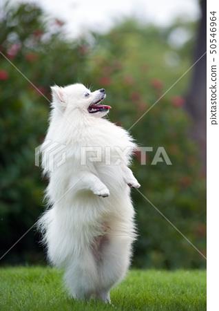 White pomeranian dog 50546964