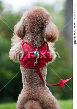 Little poodle dog standing 50546965
