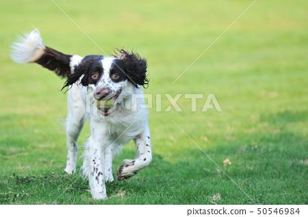 Springer dog running 50546984