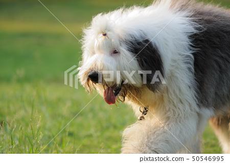 Old English sheepdog 50546995