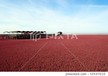 Landscape of beach full of red plants 50547010