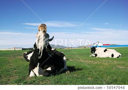 Cow driving off flies 50547048