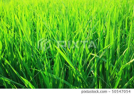 Green seedlings of cereal crops 50547054