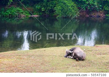 Water buffalo 50547100