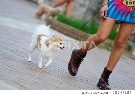 Papillon dog walking 50547184