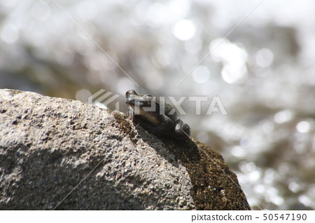 紅頭青蛙 50547190