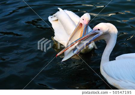 Pelicans 50547195