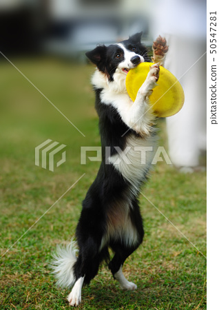 Border collie dog holding toy 50547281