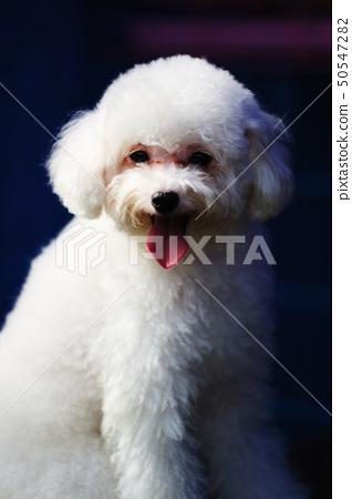 Toy poodle dog 50547282
