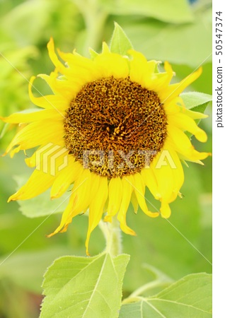 Sunflowers field at beautiful in the garden 50547374