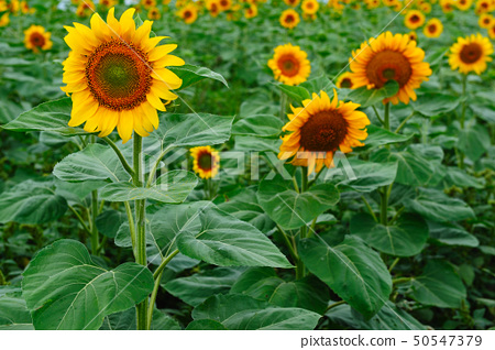 Field of sunflowers 50547379