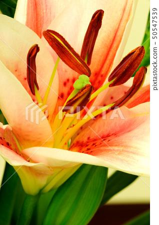 Lily flower macro 50547539