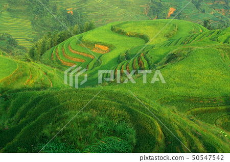 Chinese green rice field 50547542