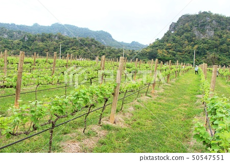 Fresh grapes in the vineyard with nature 50547551