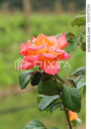 Beautiful roses is blooming in the garden 50547554