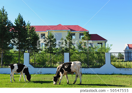 Cows grazing 50547555
