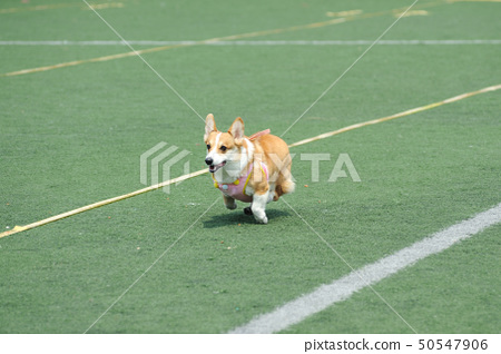 Welsh Corgi dog running 50547906