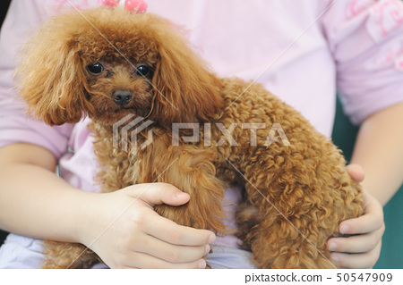 Holding toy poodle dog in arms 50547909