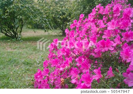 Azalea flowers 50547947
