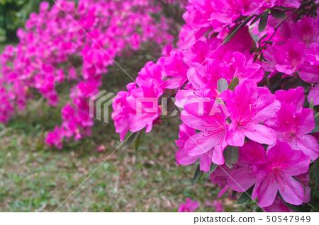 Azalea flowers 50547949