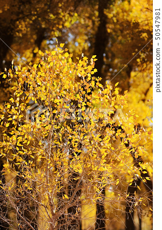 Small tree with yellow leaves 50547981