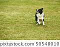 Border collie dog running 50548010