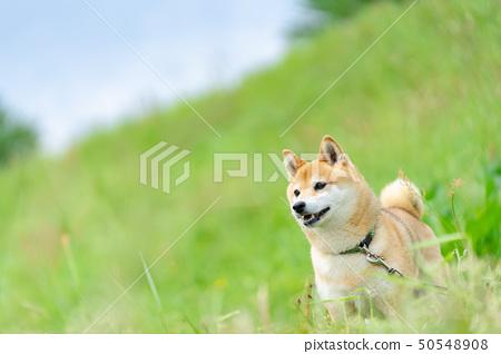 Shiba Inu狗在綠色背景國內狗日本狗一般狗步行戲劇 50548908