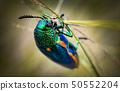 Jewel beetle in field macro shot 50552204