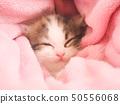 분홍색 담요에 싸여 잠 스코티시 폴드의 새끼 고양이 50556068