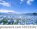 Nemophila of Ibaraki prefecture government-run Hitachi beach park in full bloom 50559382