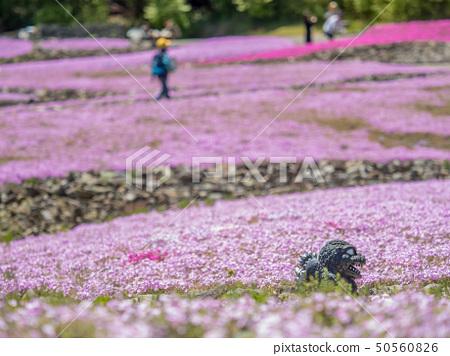 在三田市的Shiba-sakuraen花地毯 50560826
