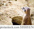 close-up cute meerkat that small animal 50565574