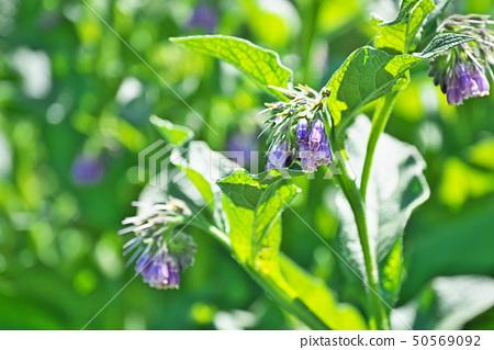 淡紫色的紫草花 50569092