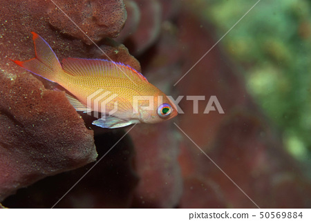 Red sea bream young fish 1 50569884