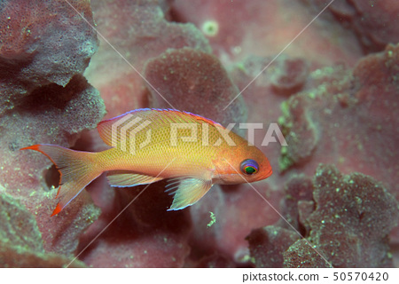 Red sea bream young fish 2 50570420