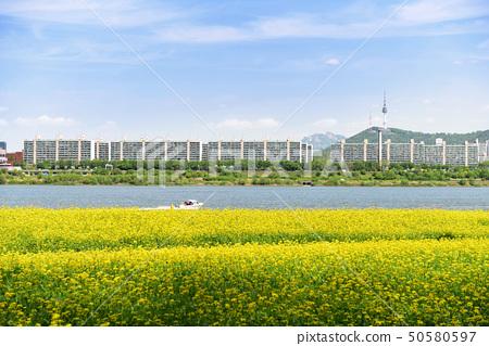 한강의 아름다운 노란 유채꽃밭 50580597