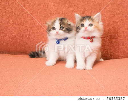 Two kittens on the sofa 50585327