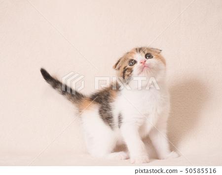查尋殘破的有耳的小貓 50585516