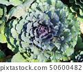 Morning sunlight with cauliflower head in the plot 50600482