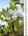 서양 배 (라 프랑스)의 꽃 50601472