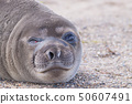 Elephant seal on beach close up, Patagonia, 50607491