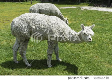 White alpaca in Melbourne 50608216
