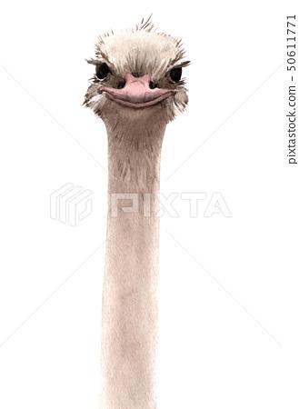 Watercolor ostrich portrait 50611771