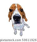 Beagle dog sitting on white background. 50611926